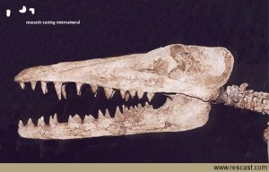 Skull Of A Member Of The Family Pakicetus