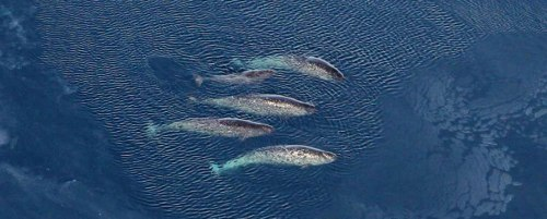 A Female Pod Of Narwhals